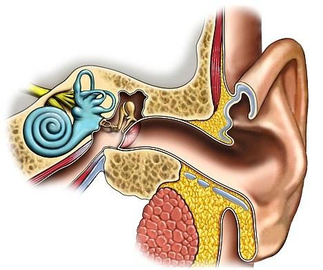 Primele grefe de oscioare din urechea medie, fabricate la imprimantă 3D