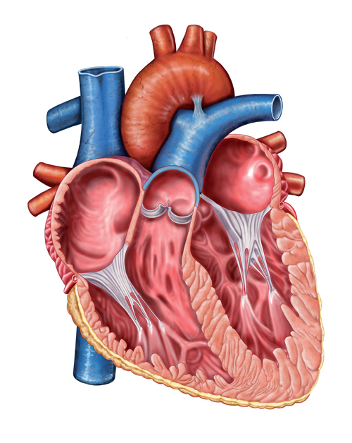 Târgu Mureș. Proiect de creare de valve aortice viabile folosind celulele pacientului
