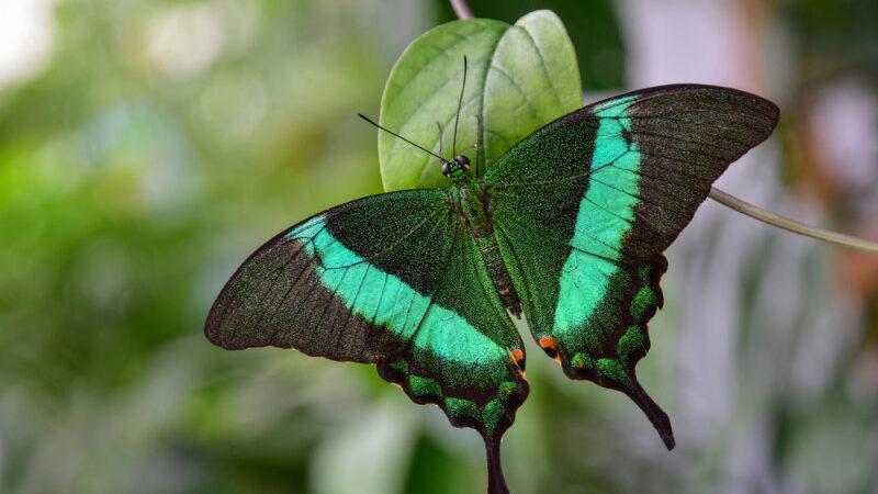 Grigore Antipa fluturi