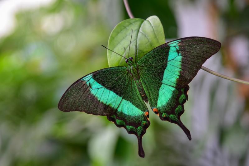 """""""Prinde din zbor cea mai frumoasă expoziţie a verii!"""". Ce mai frumoși fluturi tropicali pot fi văzuți la """"Grigore Antipa"""""""