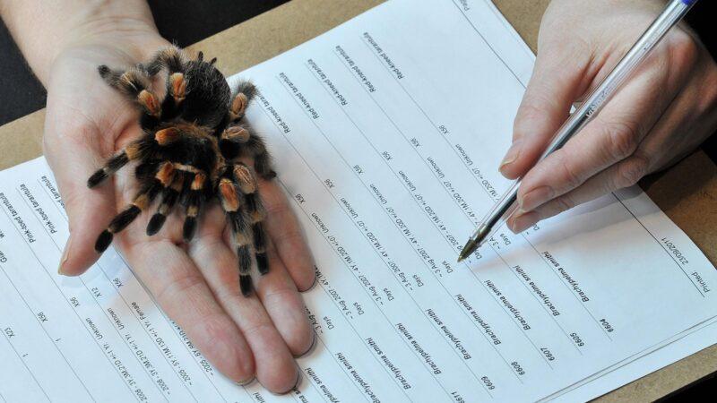 Tarantula analgezic