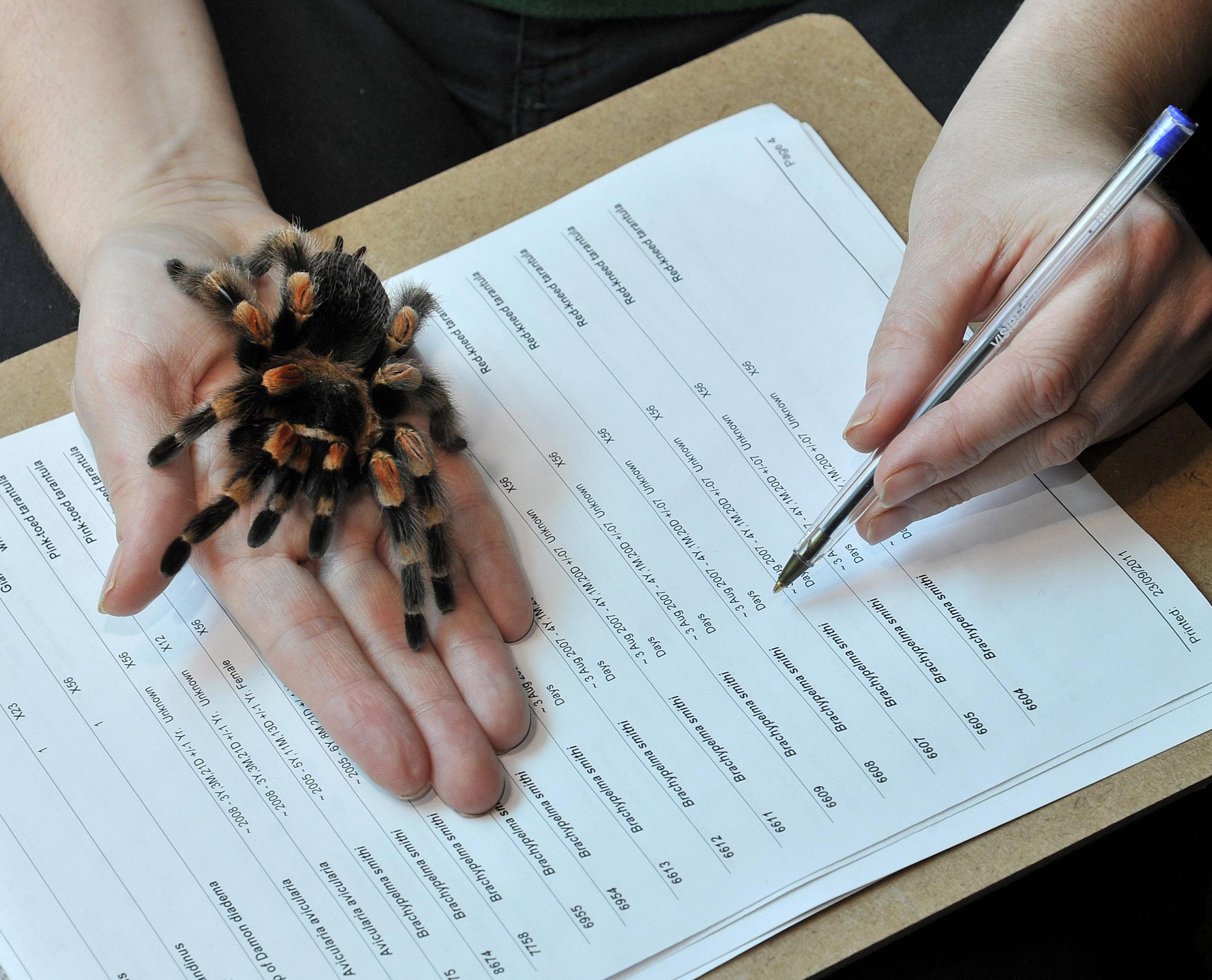 Oamenii de știință dezvoltă un nou tip de analgezic din veninul de tarantulă